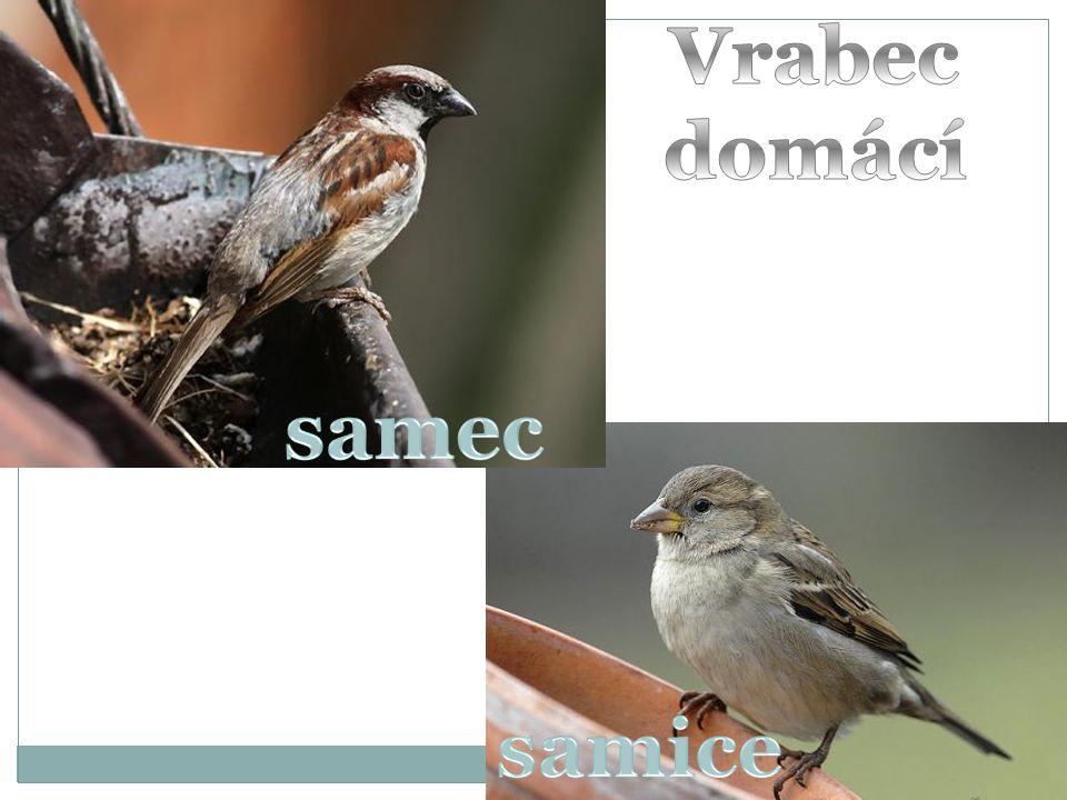 samec Vrabec domácí samice