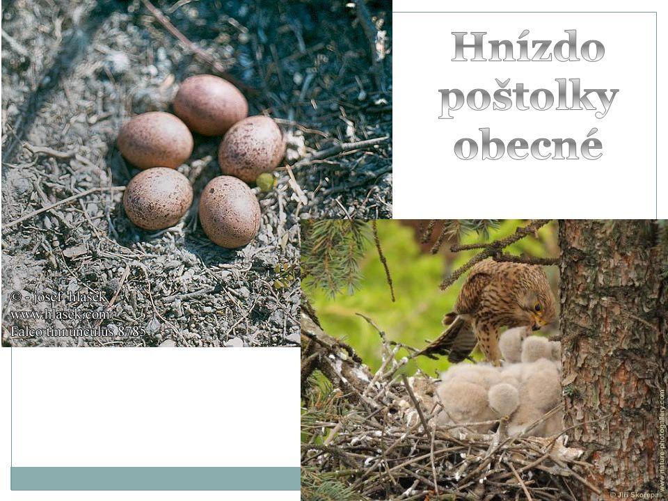 Hnízdo poštolky obecné