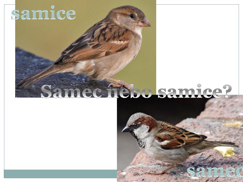samice Samec nebo samice samec