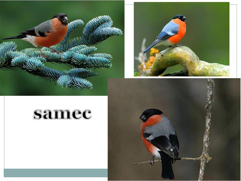 samec
