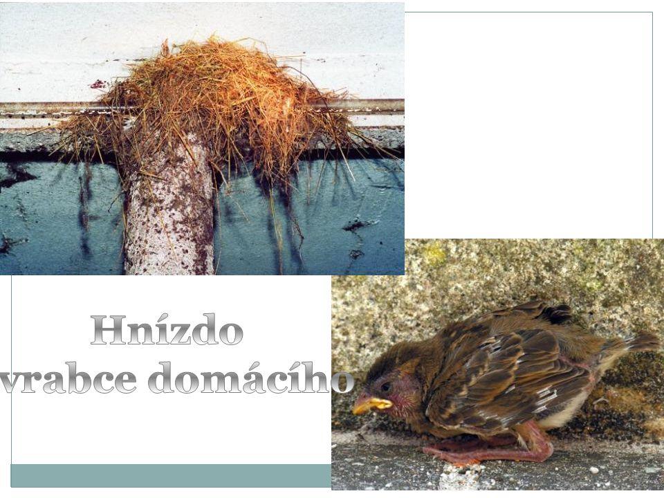 Hnízdo vrabce domácího