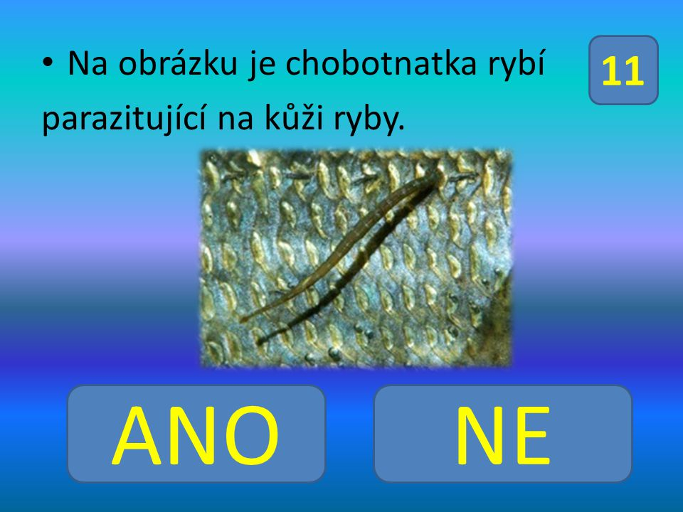 Na obrázku je chobotnatka rybí