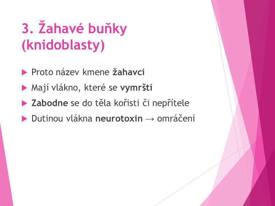 3. Žahavé buňky (knidoblasty)
