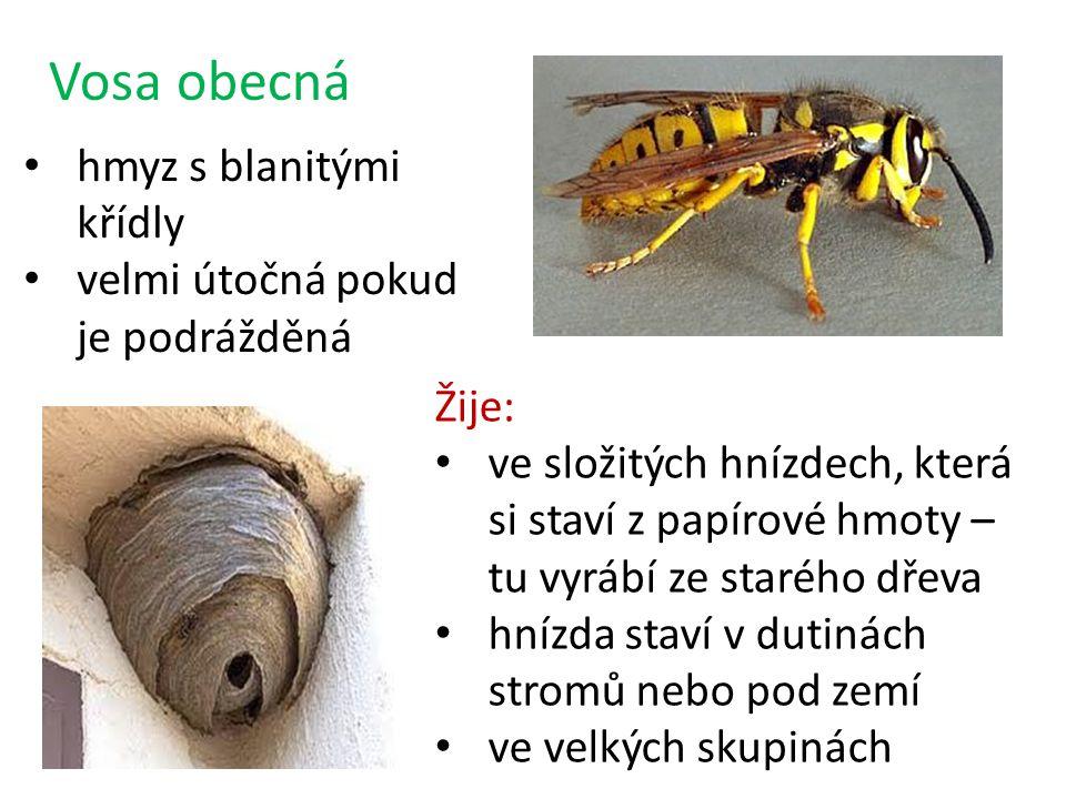 Vosa obecná hmyz s blanitými křídly velmi útočná pokud je podrážděná