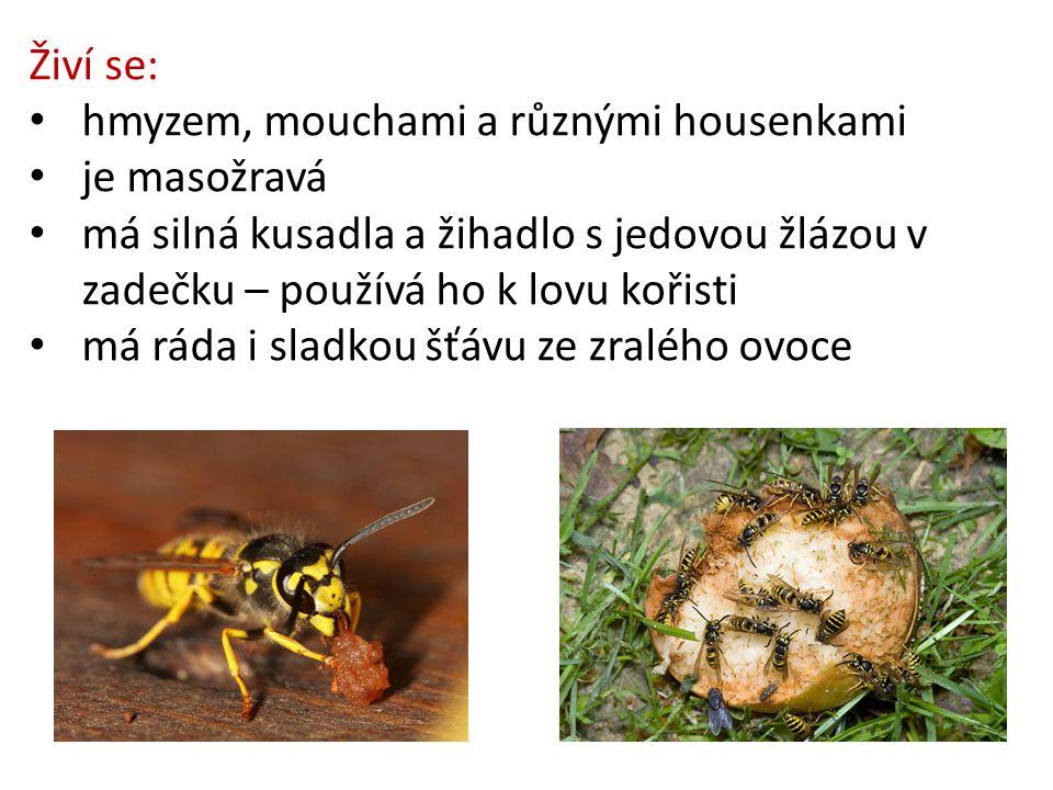 Živí se: hmyzem, mouchami a různými housenkami. je masožravá. má silná kusadla a žihadlo s jedovou žlázou v zadečku – používá ho k lovu kořisti.