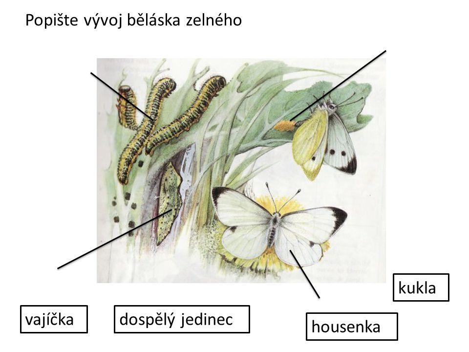 Popište vývoj běláska zelného