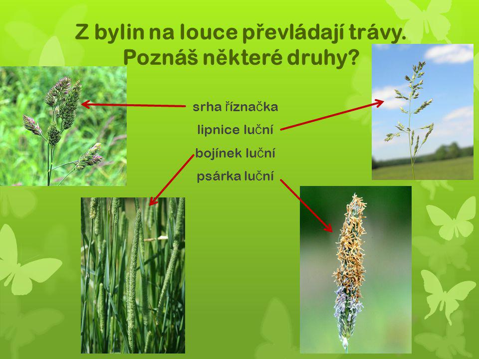 Z bylin na louce převládají trávy. Poznáš některé druhy