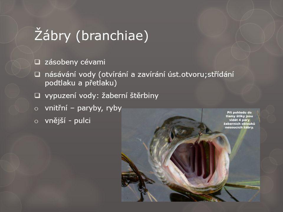 Žábry (branchiae) zásobeny cévami