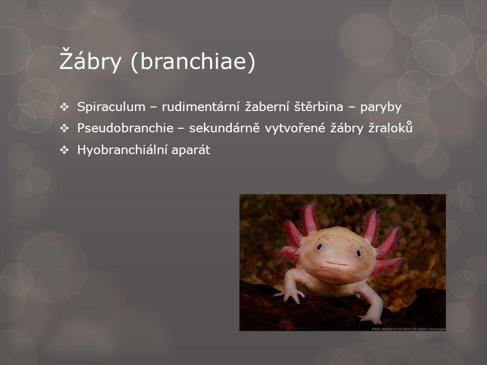 Žábry (branchiae) Spiraculum – rudimentární žaberní štěrbina – paryby