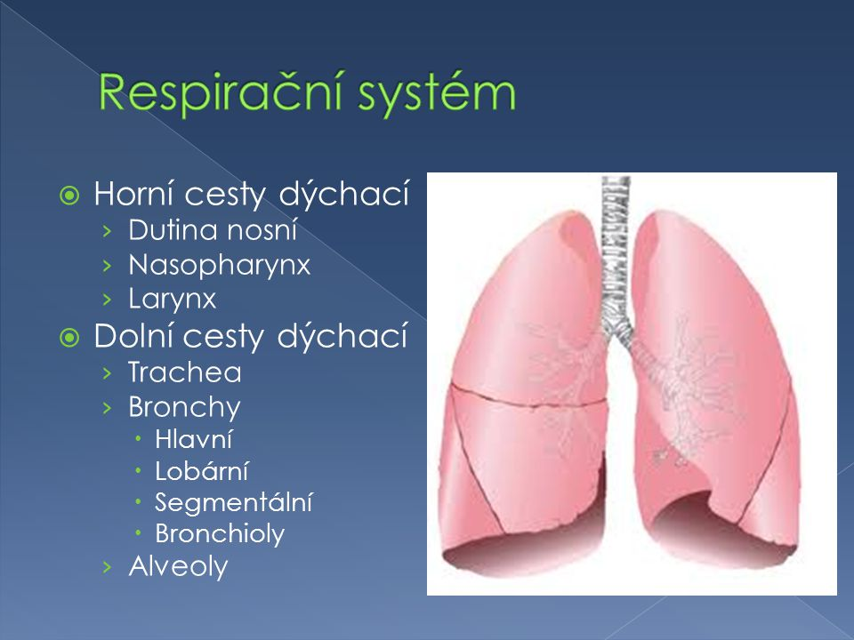 Respirační systém Horní cesty dýchací Dolní cesty dýchací Dutina nosní