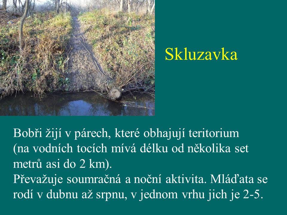Skluzavka Bobři žijí v párech, které obhajují teritorium