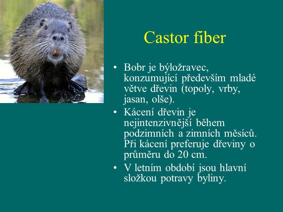 Castor fiber Bobr je býložravec, konzumující především mladé větve dřevin (topoly, vrby, jasan, olše).