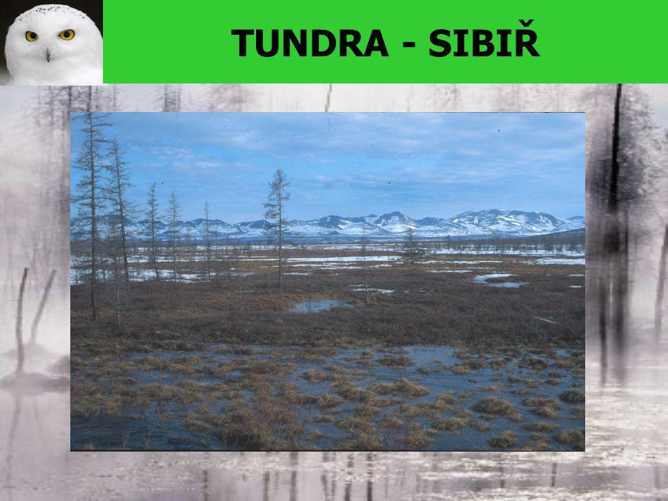 TUNDRA - SIBIŘ