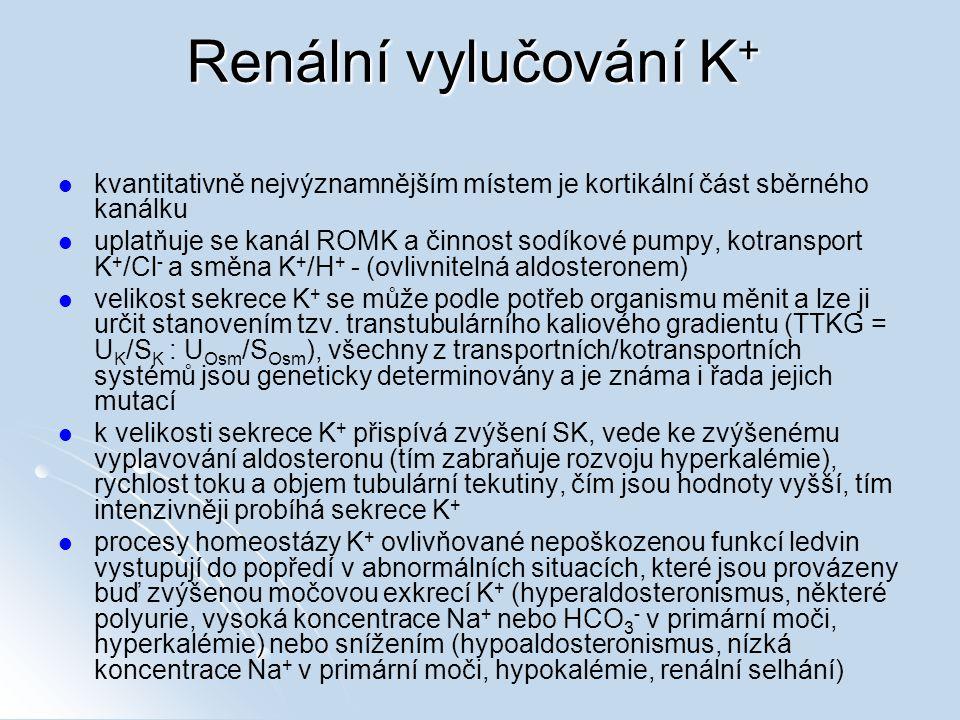 Renální vylučování K+ kvantitativně nejvýznamnějším místem je kortikální část sběrného kanálku.