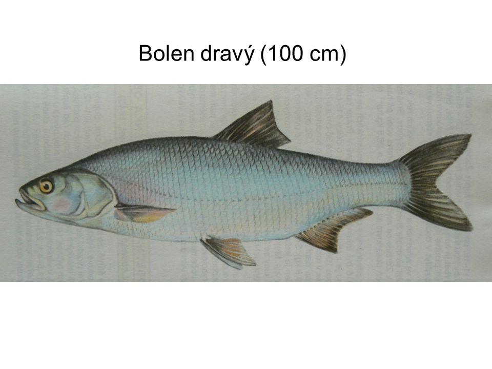 Bolen dravý (100 cm)