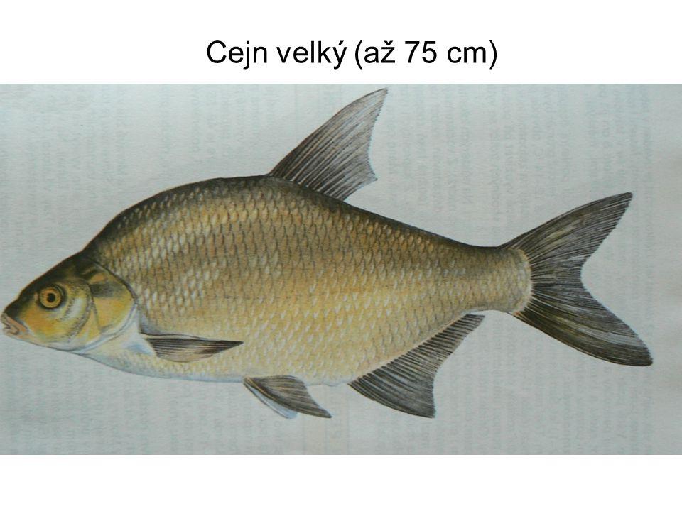 Cejn velký (až 75 cm)