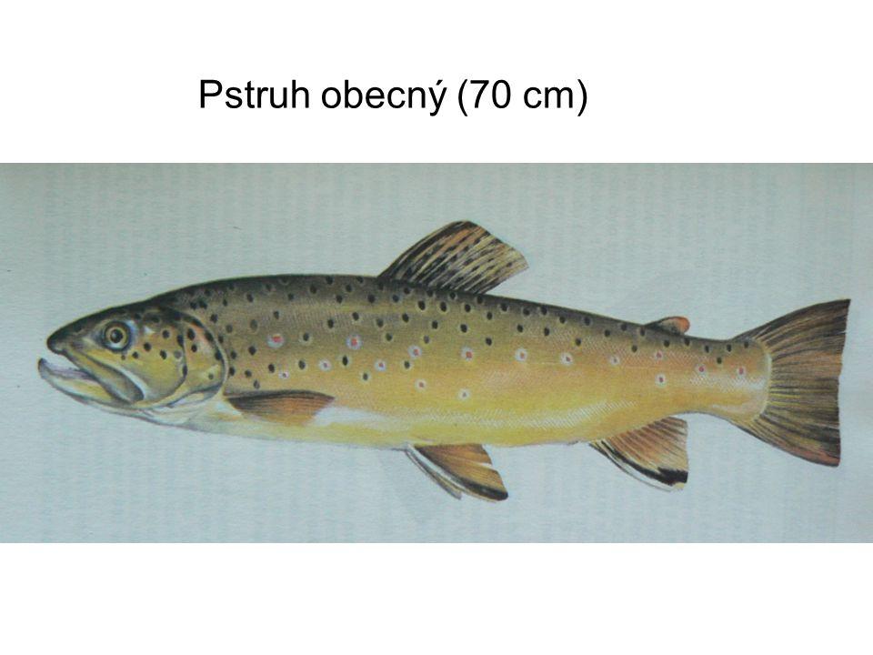 Pstruh obecný (70 cm)