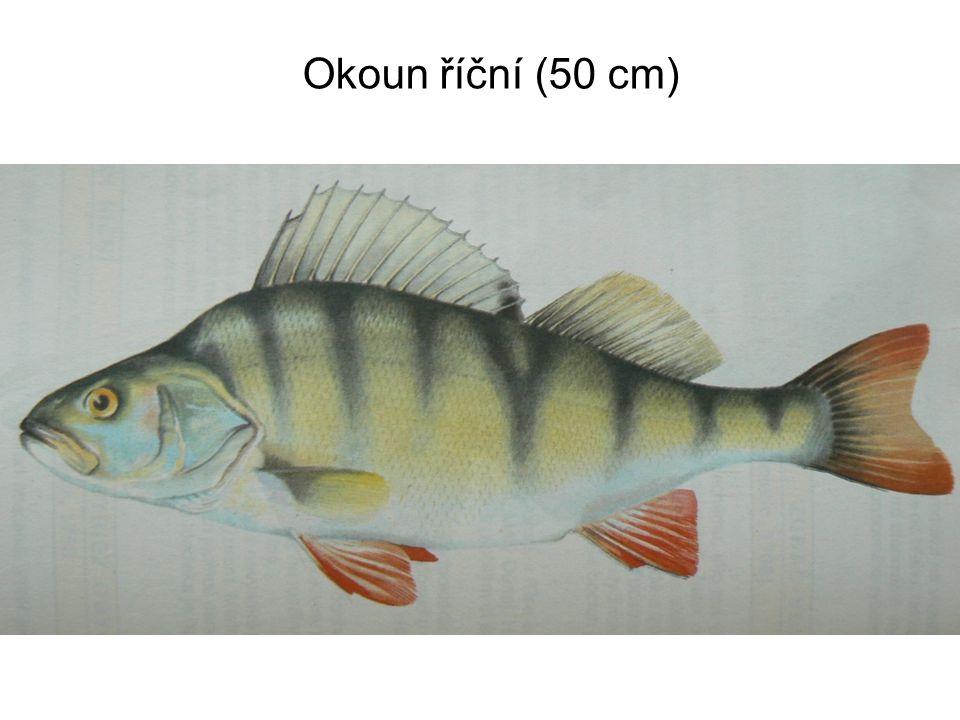 Okoun říční (50 cm)