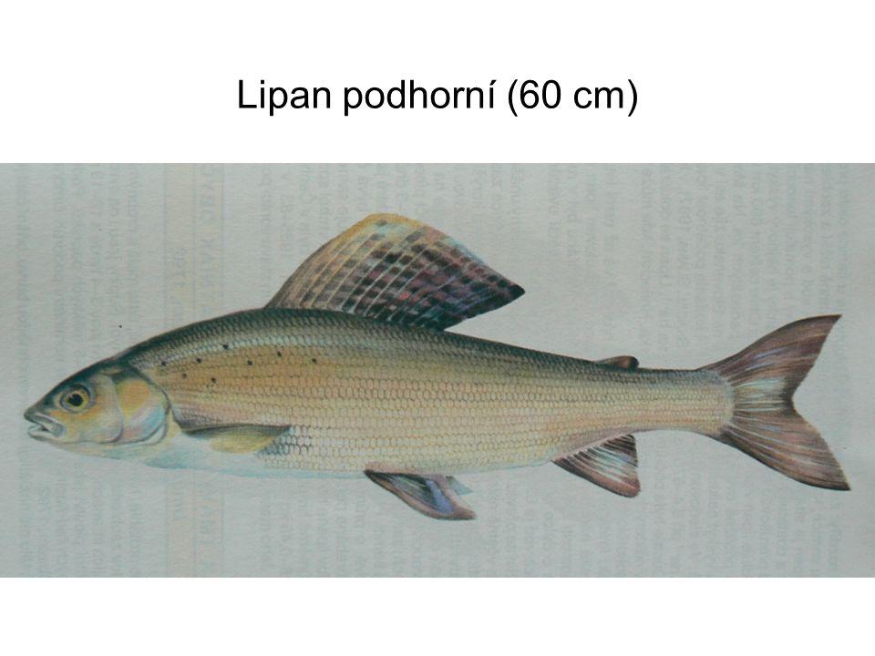 Lipan podhorní (60 cm)