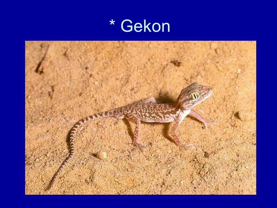 * Gekon