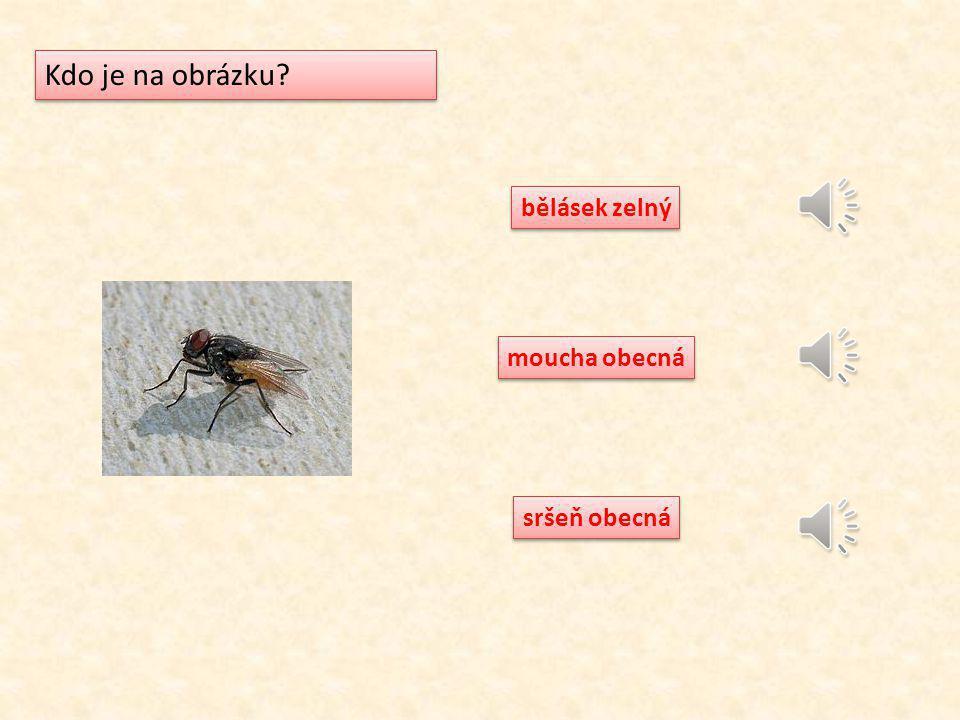 Kdo je na obrázku bělásek zelný moucha obecná sršeň obecná