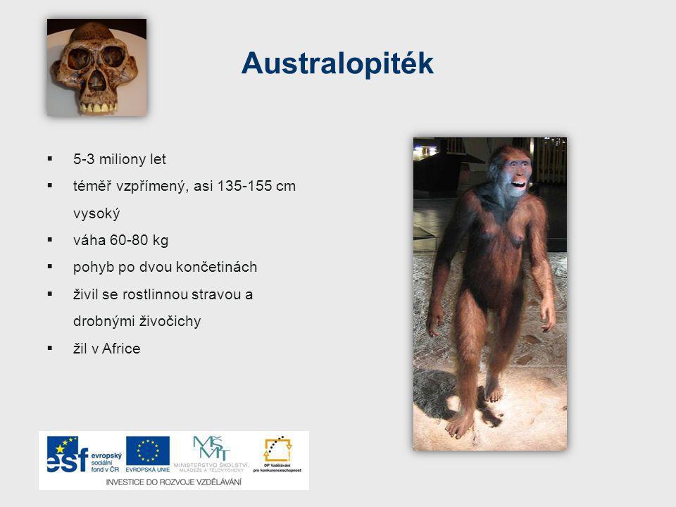 Australopiték 5-3 miliony let téměř vzpřímený, asi 135-155 cm vysoký
