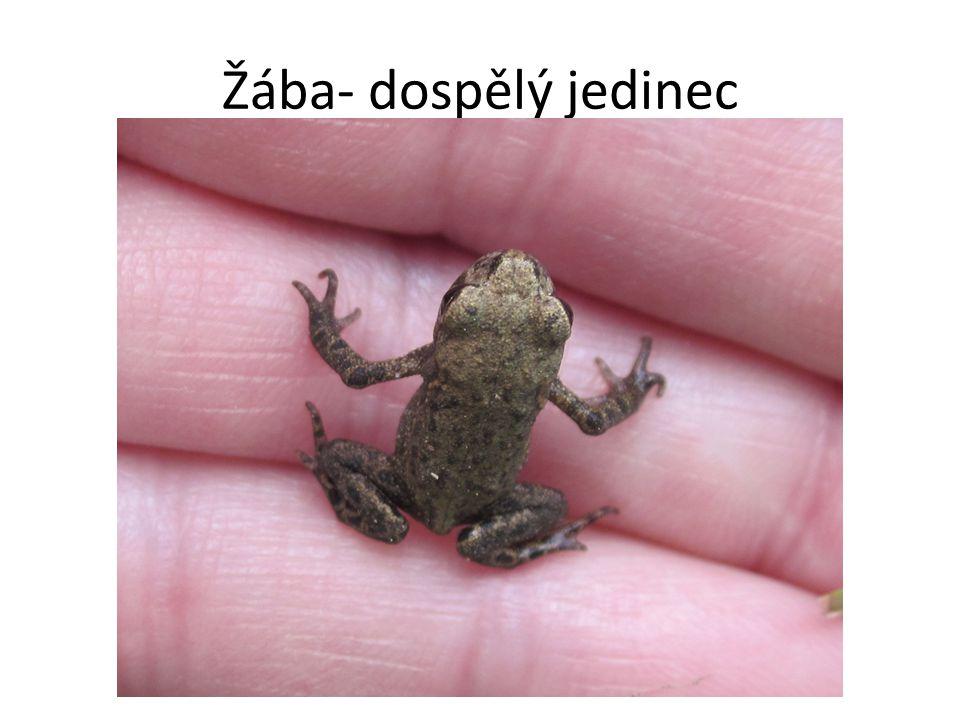 Žába- dospělý jedinec