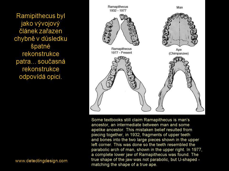 Ramipithecus byl jako vývojový článek zařazen chybně v důsledku špatné rekonstrukce patra... současná rekonstrukce odpovídá opici.