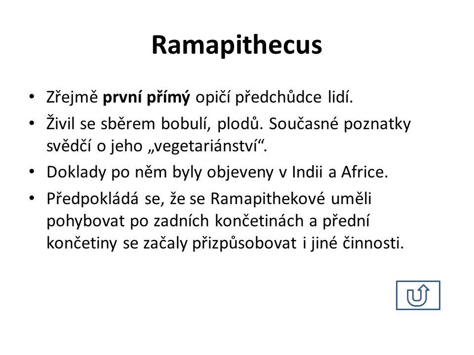 Ramapithecus Zřejmě první přímý opičí předchůdce lidí.