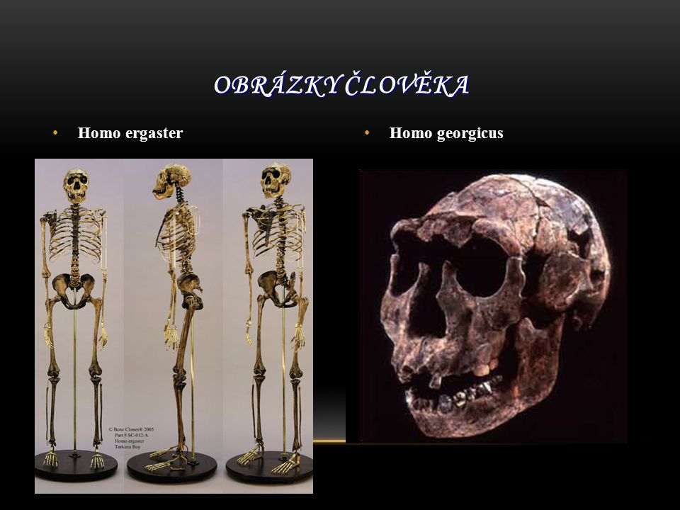 Obrázky člověka Homo ergaster Homo georgicus
