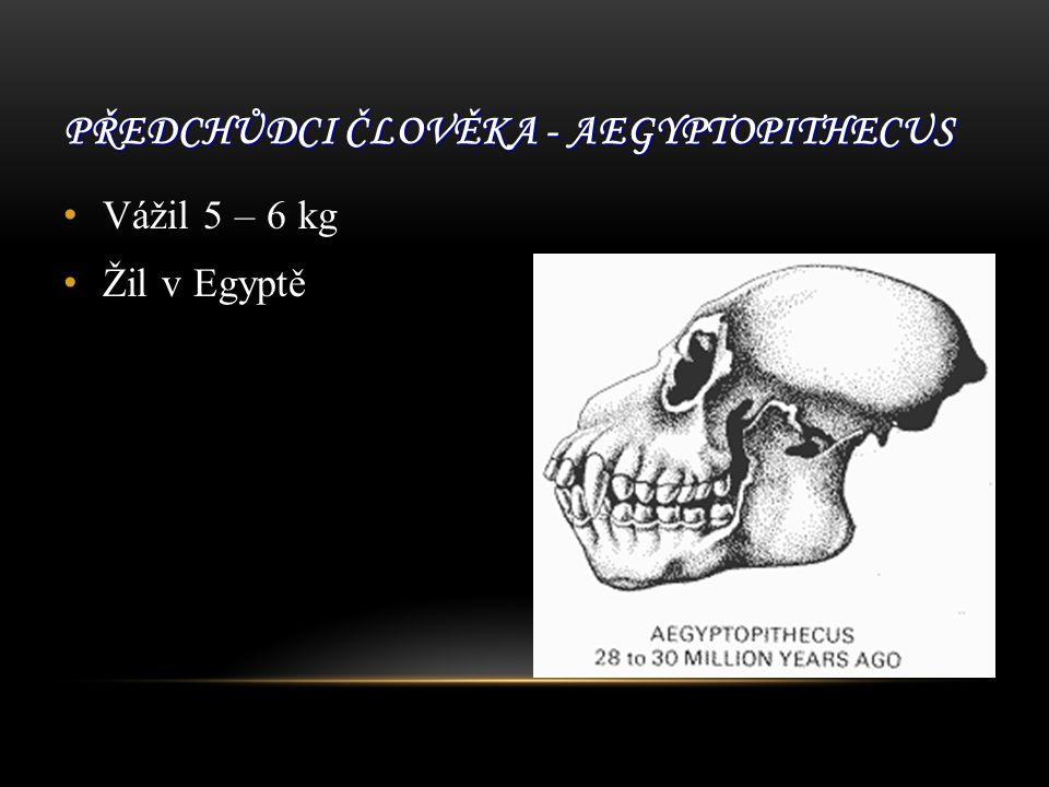 Předchůdci člověka - Aegyptopithecus