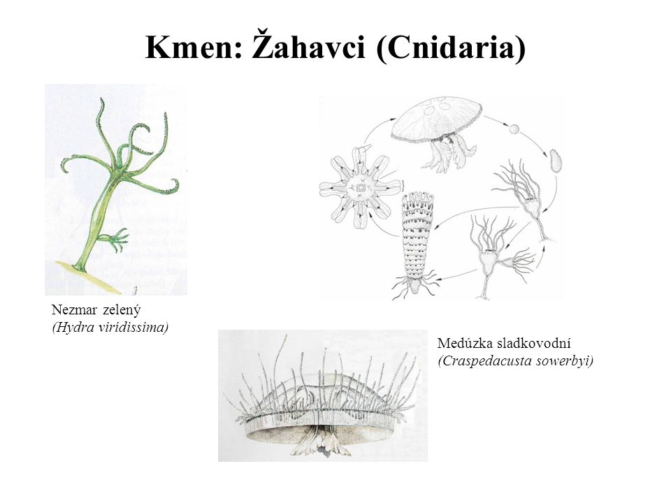 Kmen: Žahavci (Cnidaria)