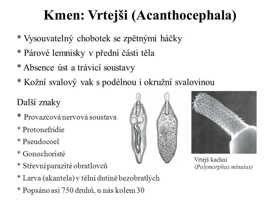 Kmen: Vrtejši (Acanthocephala)