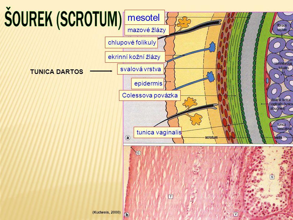 ŠOUREK (SCROTUM) mesotel chlupové folikuly TUNICA DARTOS epidermis