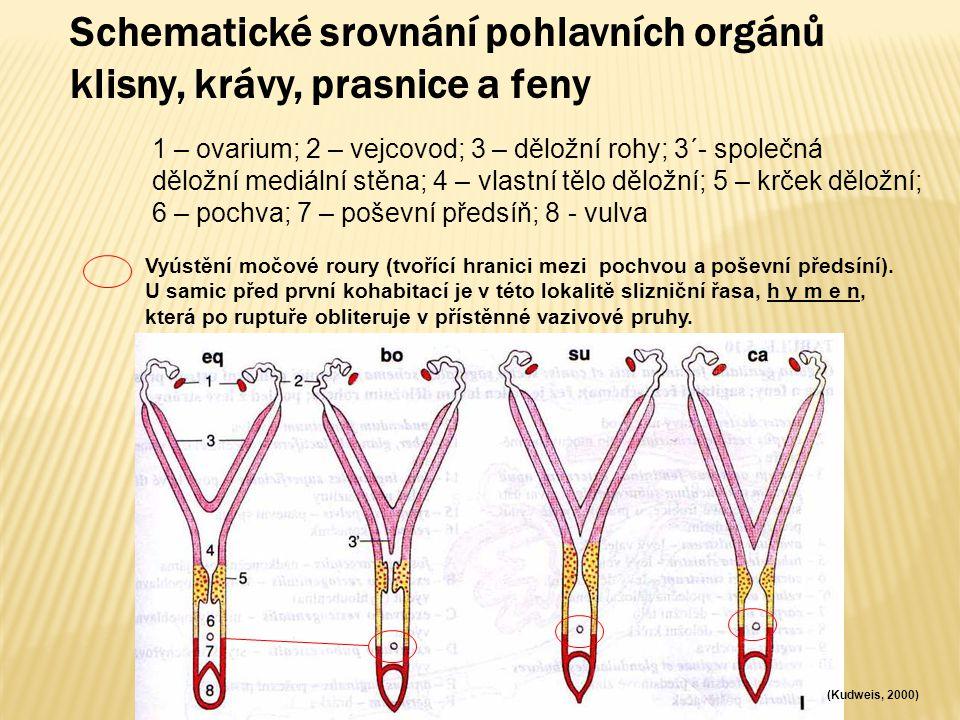 Schematické srovnání pohlavních orgánů klisny, krávy, prasnice a feny