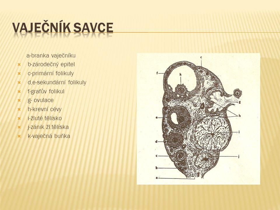 Vaječník savce a-branka vaječníku b-zárodečný epitel