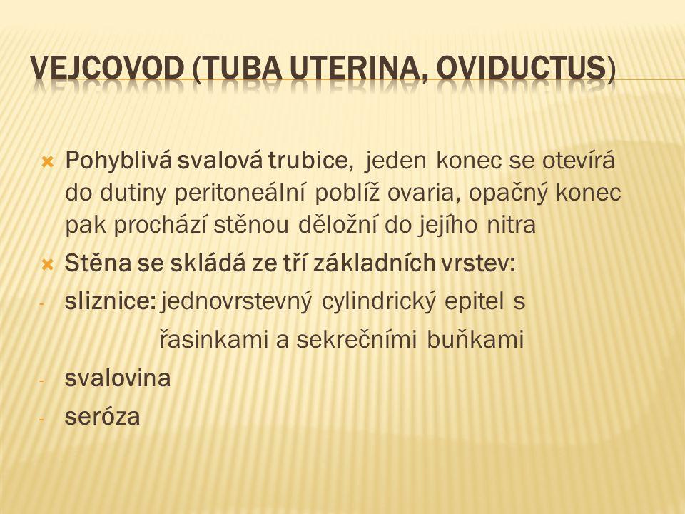Vejcovod (tuba uterina, oviductus)