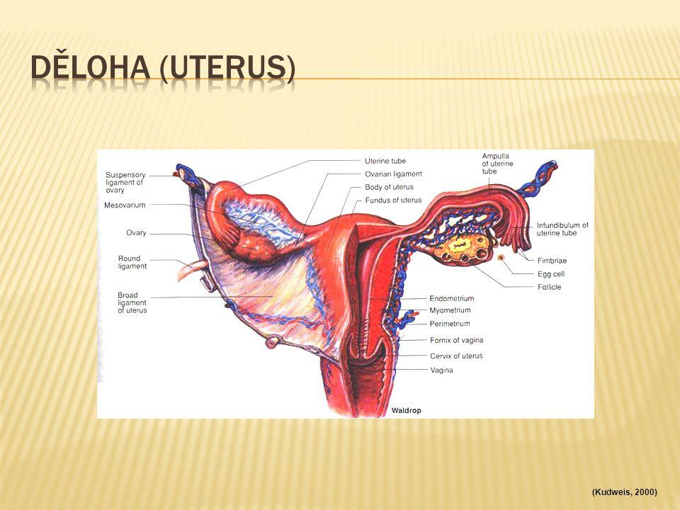 Děloha (uterus) (Kudweis, 2000)