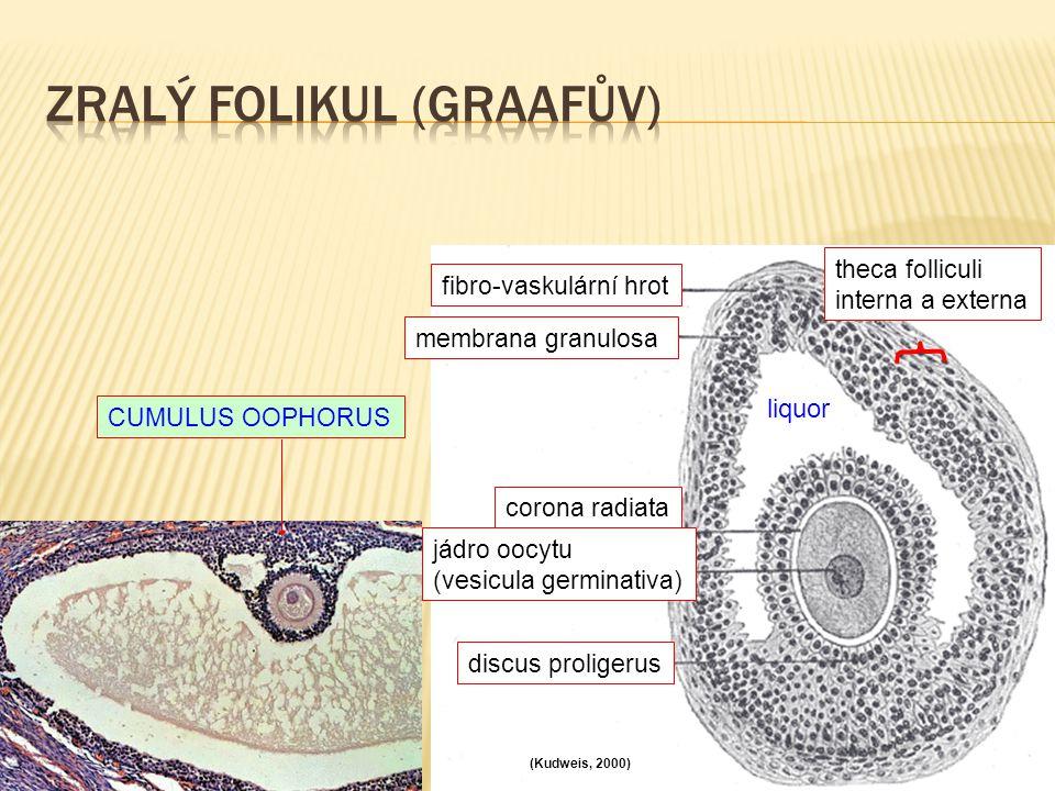 Zralý folikul (Graafův)