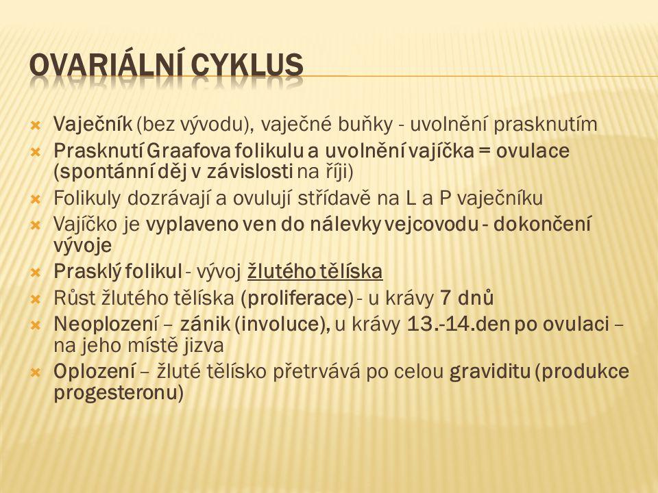 Ovariální cyklus Vaječník (bez vývodu), vaječné buňky - uvolnění prasknutím.