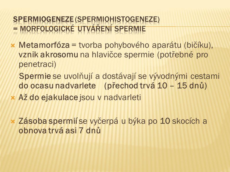 Spermiogeneze (spermiohistogeneze) = morfologické utváření spermie