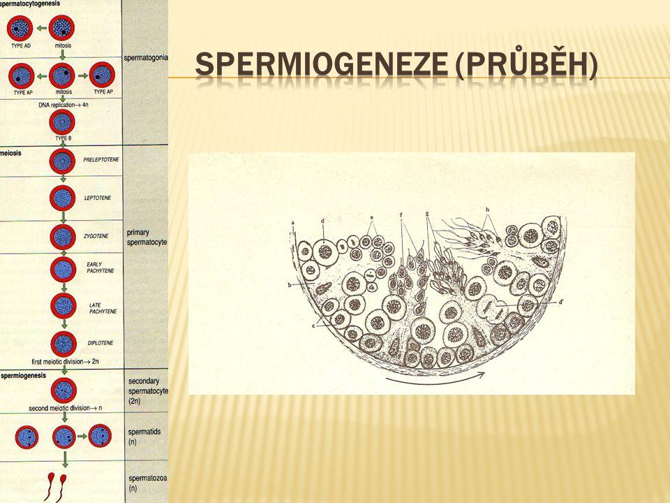 Spermiogeneze (průběh)