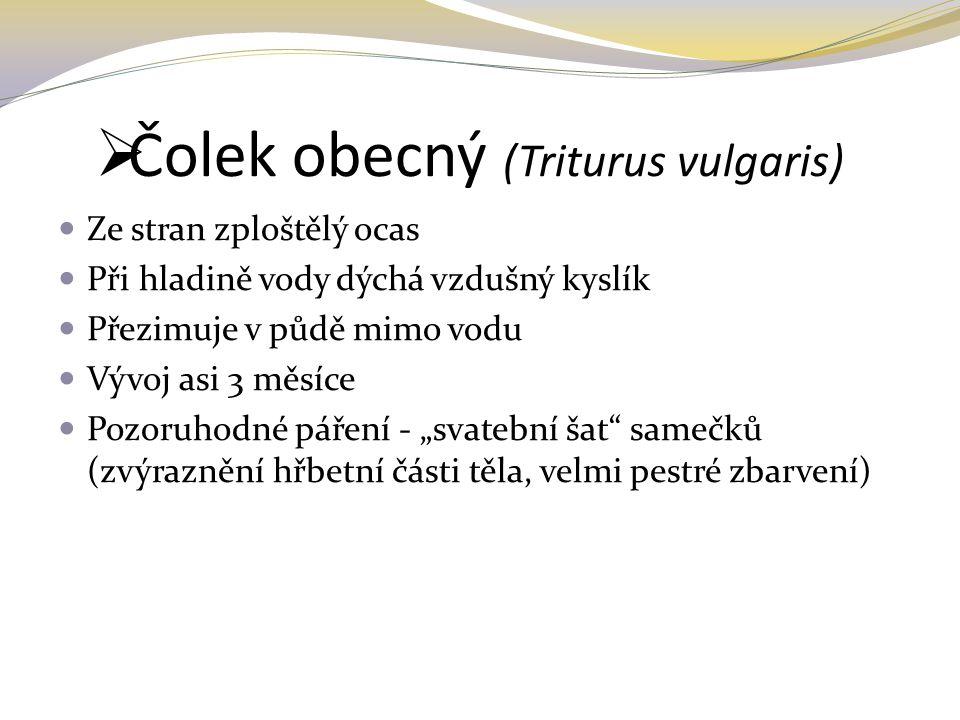 Čolek obecný (Triturus vulgaris)