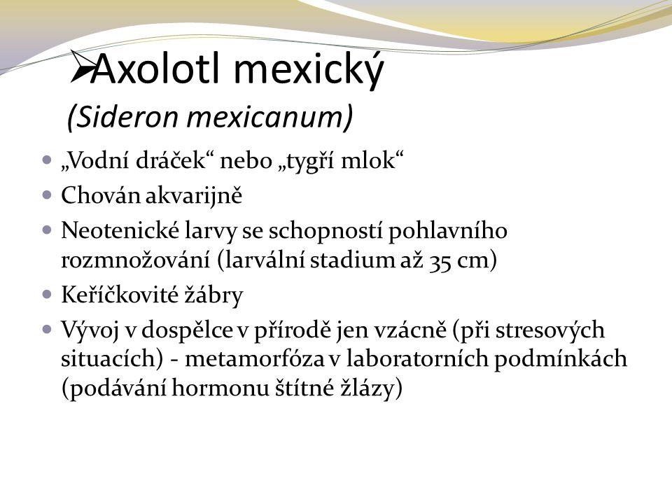 Axolotl mexický (Sideron mexicanum)