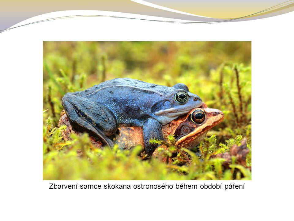 Zbarvení samce skokana ostronosého během období páření