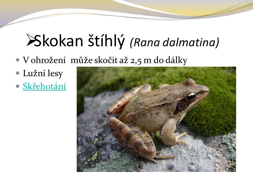 Skokan štíhlý (Rana dalmatina)