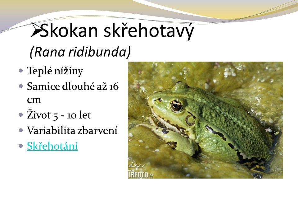Skokan skřehotavý (Rana ridibunda)