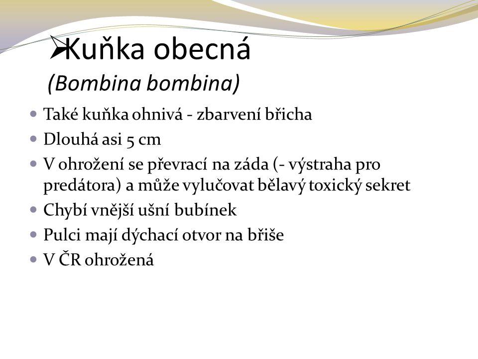 Kuňka obecná (Bombina bombina)