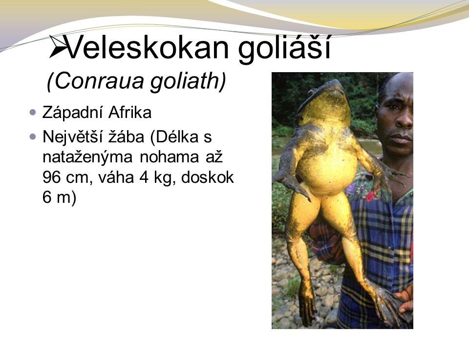 Veleskokan goliáší (Conraua goliath)