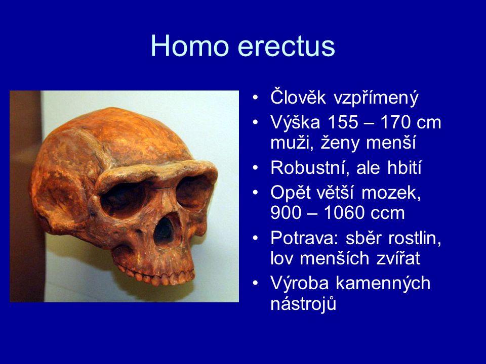 Homo erectus Člověk vzpřímený Výška 155 – 170 cm muži, ženy menší